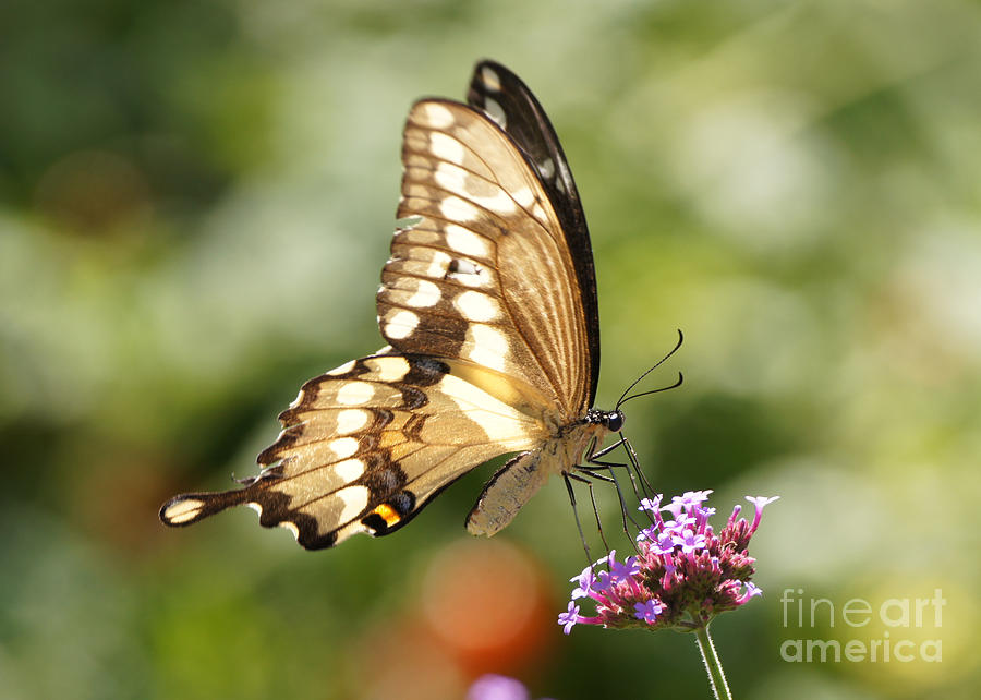 Giant Swallowtail Photograph - Giant Swallowtail Butterfly by Robert E Alter Reflections of Infinity