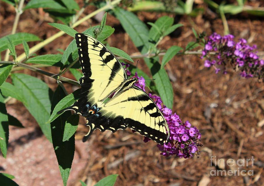 Giant Swallowtail Photograph - Giant Swallowtail Butterfly by Theresa Willingham