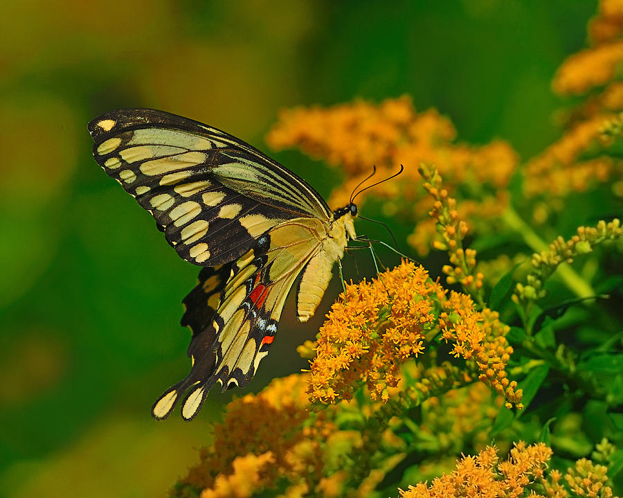 Giant Swallowtail Photograph - Giant Swallowtail On Goldenrod by Tony Beck
