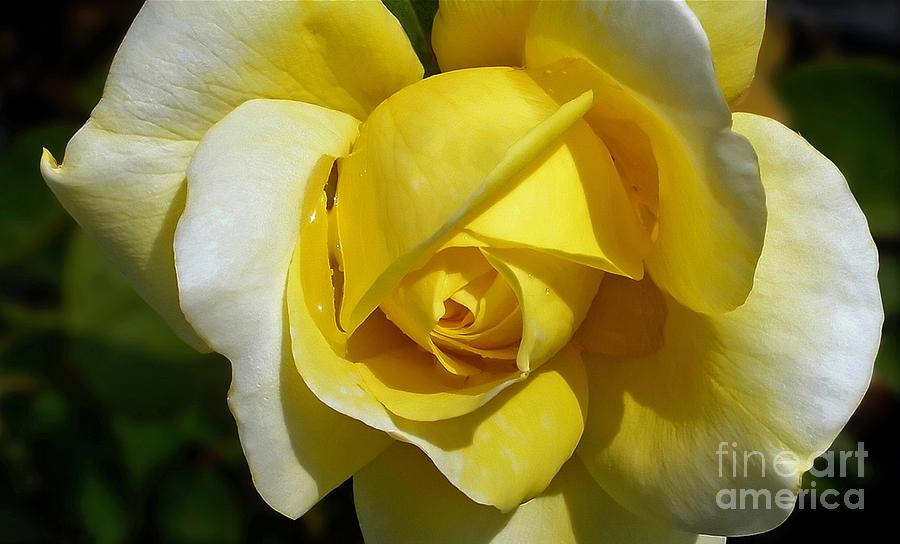 Rose Photograph - Gina Lollobrigida Rose by Kaye Menner