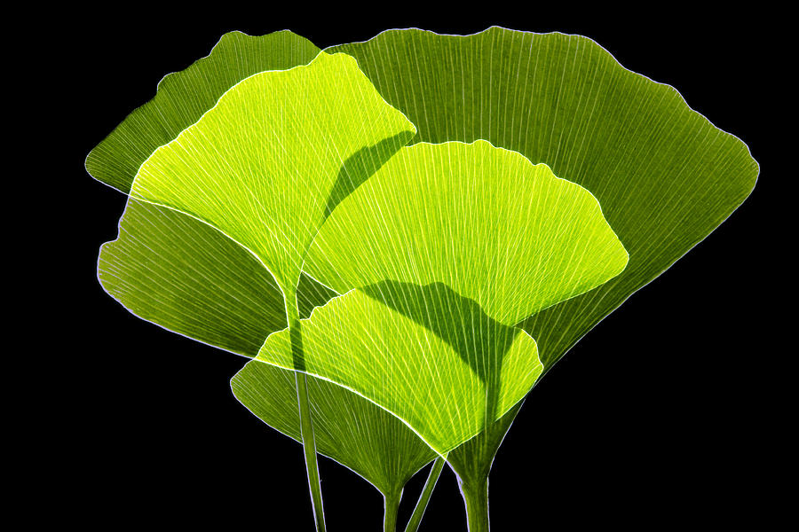 Ginkgo Leaves Photograph by Pasieka