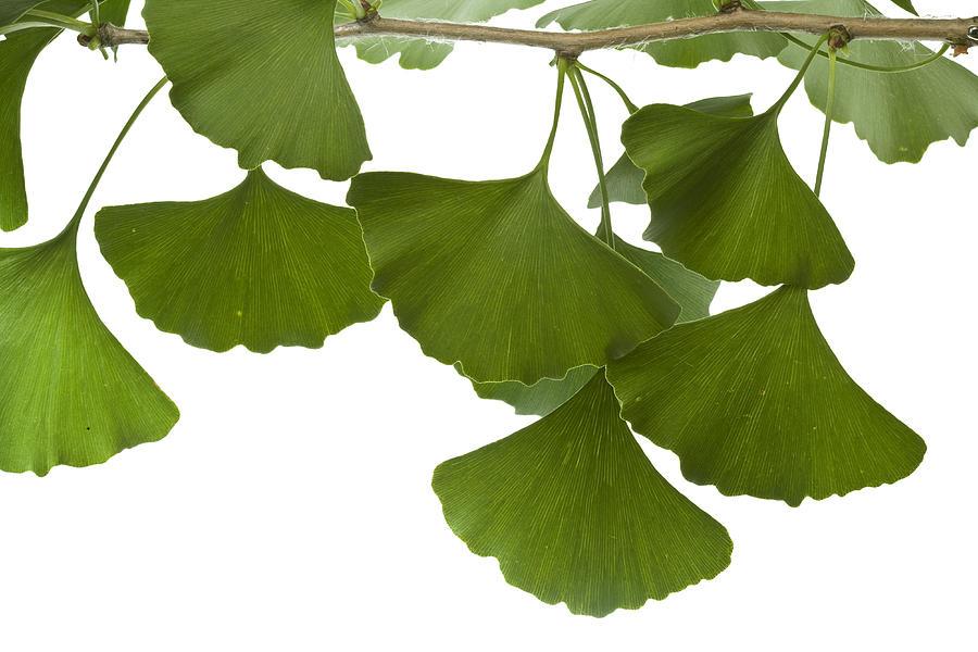 ginkgo leaves photograph by piotr naskrecki
