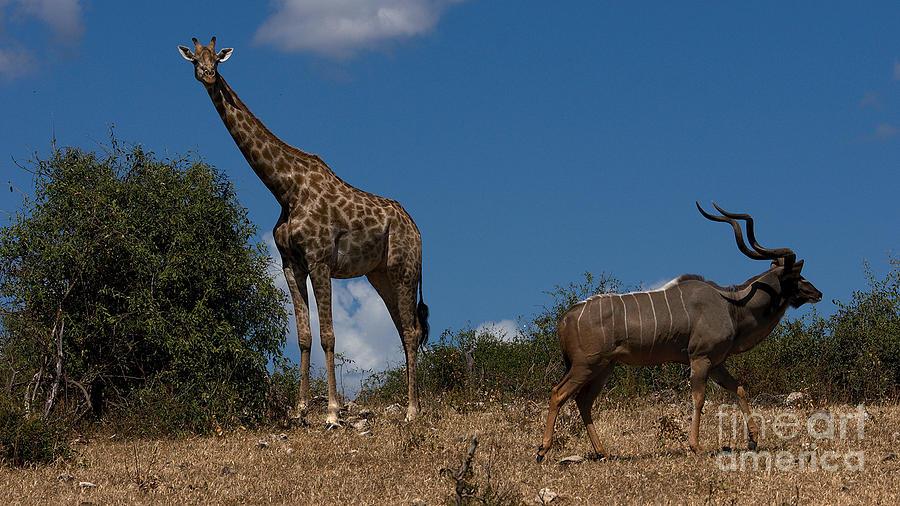 Giraffes Photograph - Giraffe And Kudu by Mareko Marciniak