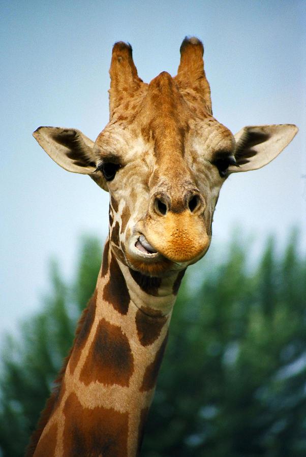 Giraffe Photograph - Giraffe by CJ Clark