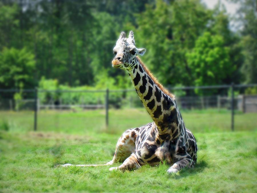 Giraffes Photograph - Giraffe II by Eva Kondzialkiewicz