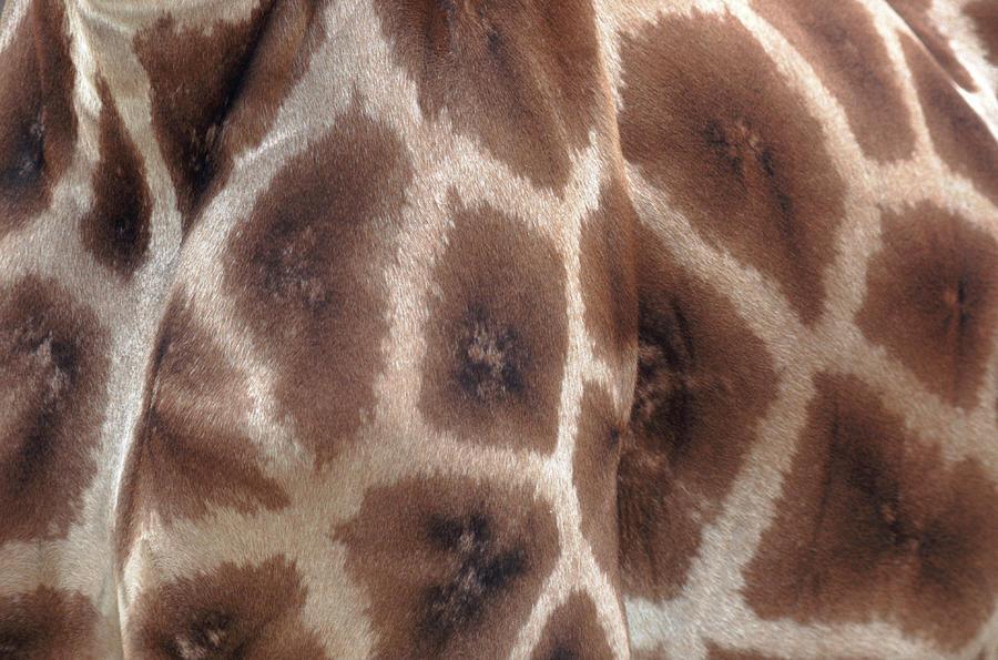 Horizontal Photograph - Giraffes Hide by John Foxx