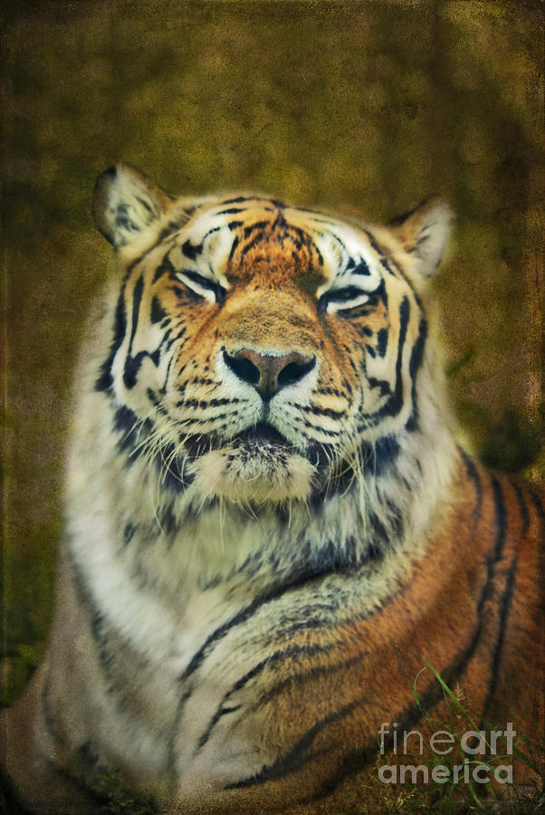 Tiger Photograph - Give Me Your Tender Look by Aimelle