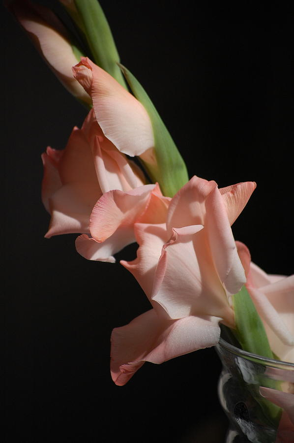 Pure Photograph - Gladiolus by Dickon Thompson