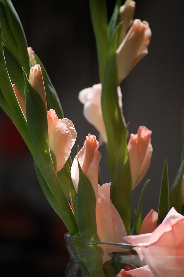 Pure Photograph - Gladiolus II by Dickon Thompson