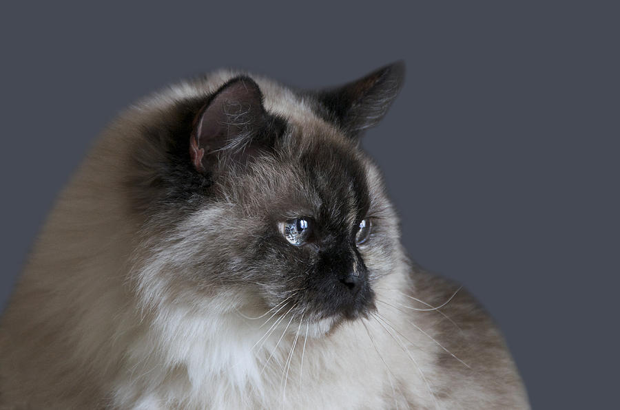 Cat Photograph - Glamour Shots by Steven  Michael