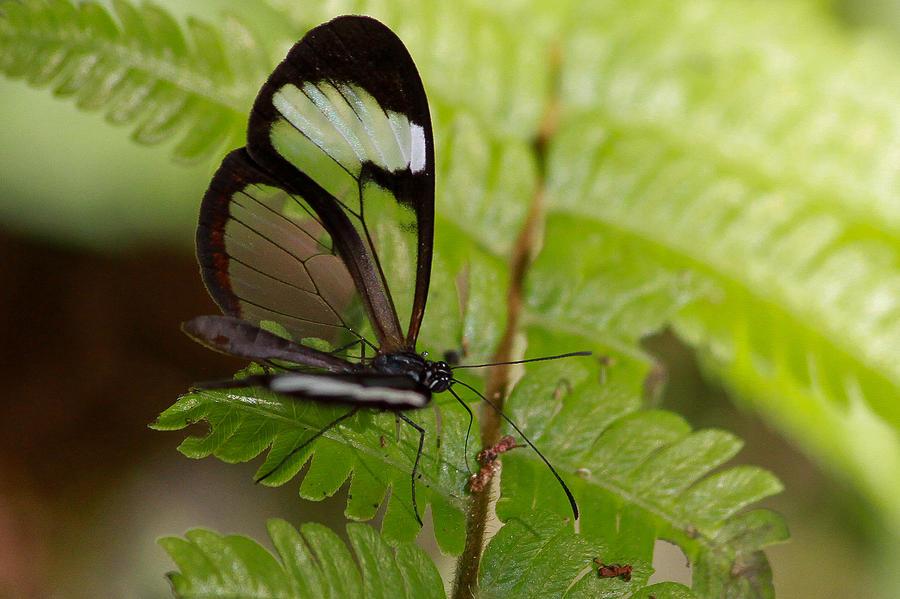 Glasswinged Butterfly Photograph By Alex Troya