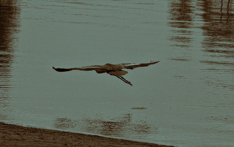 Blue Heron Photograph - Gliding Inches Above The Water by Douglas Barnard