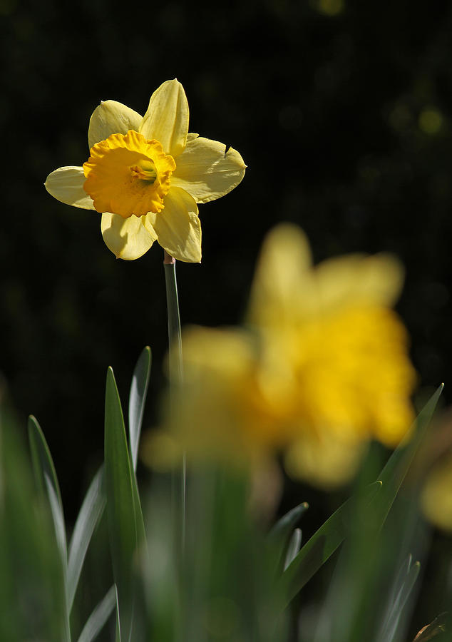 Daffodil Photograph - Glorious Daffodil by Juergen Roth