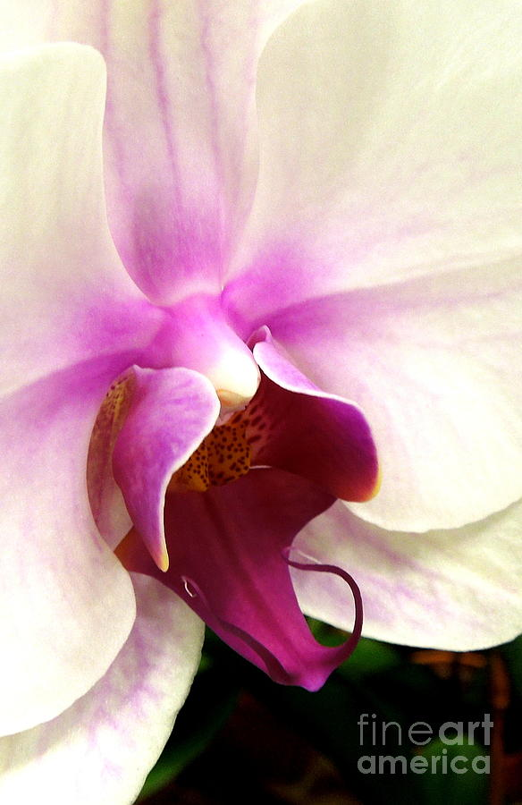 Orchid Photograph - Glorious Orchid by Renee Trenholm