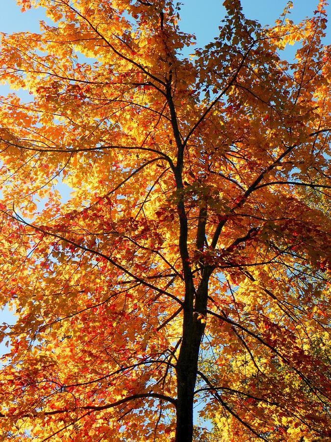 Tree Photograph - Glory Of Autumn by Jennifer Compton