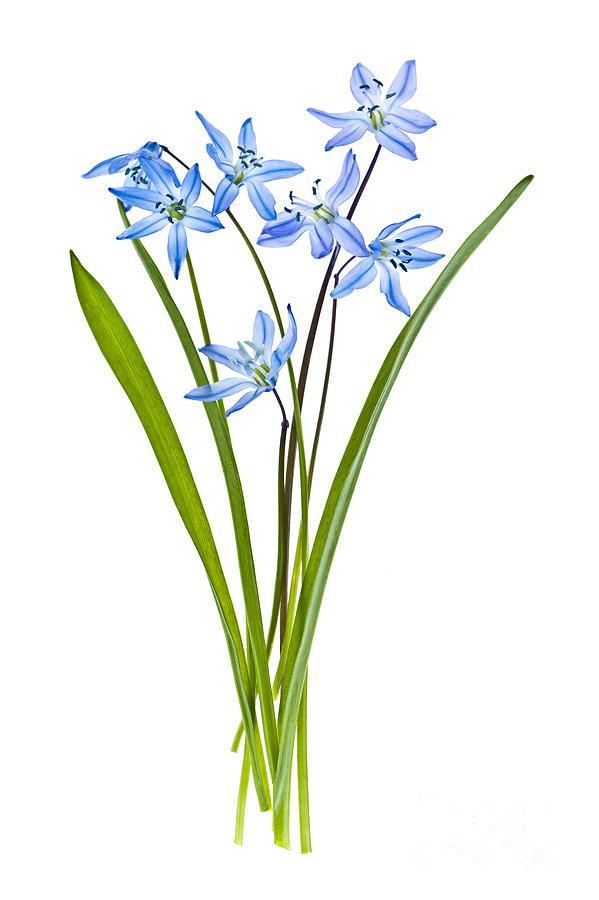 Blue Spring Flowers Photograph