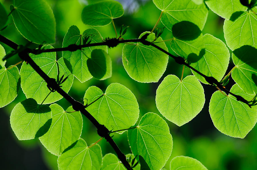 Leaf Photograph - Glowing Heart Shaped Leaves by Hegde Photos