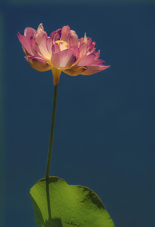 Photograph Photograph - Glowing Lotus by Jill Balsam