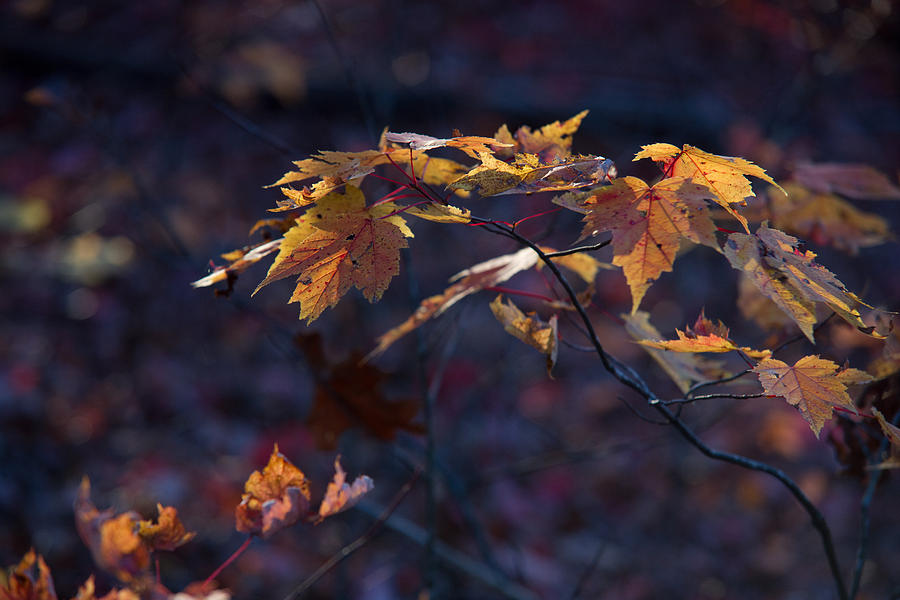 Glowing Photograph - Glowing Maple Leaves by Douglas Barnett