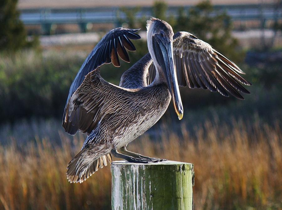 Pelican Photograph - Glowing by Paulette Thomas