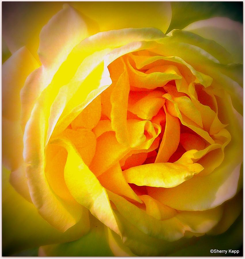 Rose Digital Art - Glowing by Sherry  Kepp