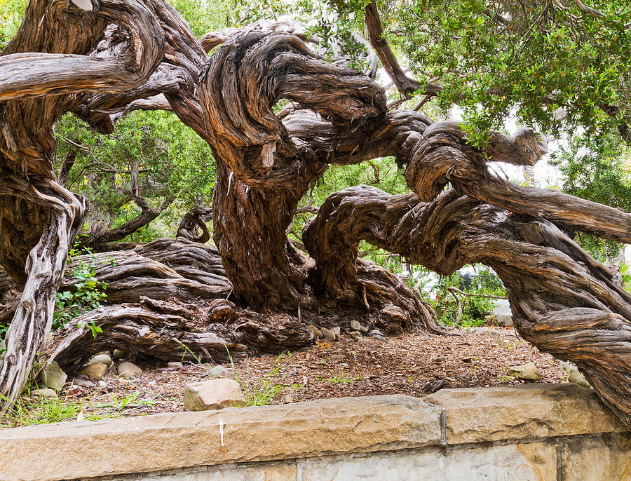Gnarly Photograph - Gnarly Tree I by Bernard  Barcos