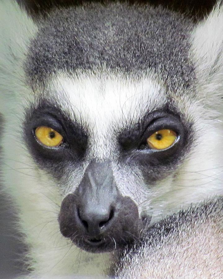 Lemur Photograph - Go Ahead--make My Day by Lori Pessin Lafargue