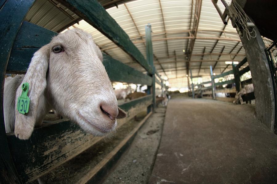 Capra Aegagrus Hircus Photograph - Goat Farming by Photostock-israel