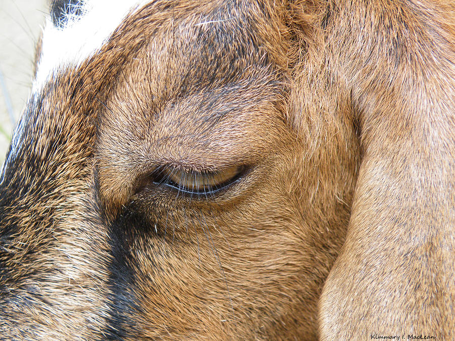 2012 Photograph - Goat Lashes by Kimmary MacLean