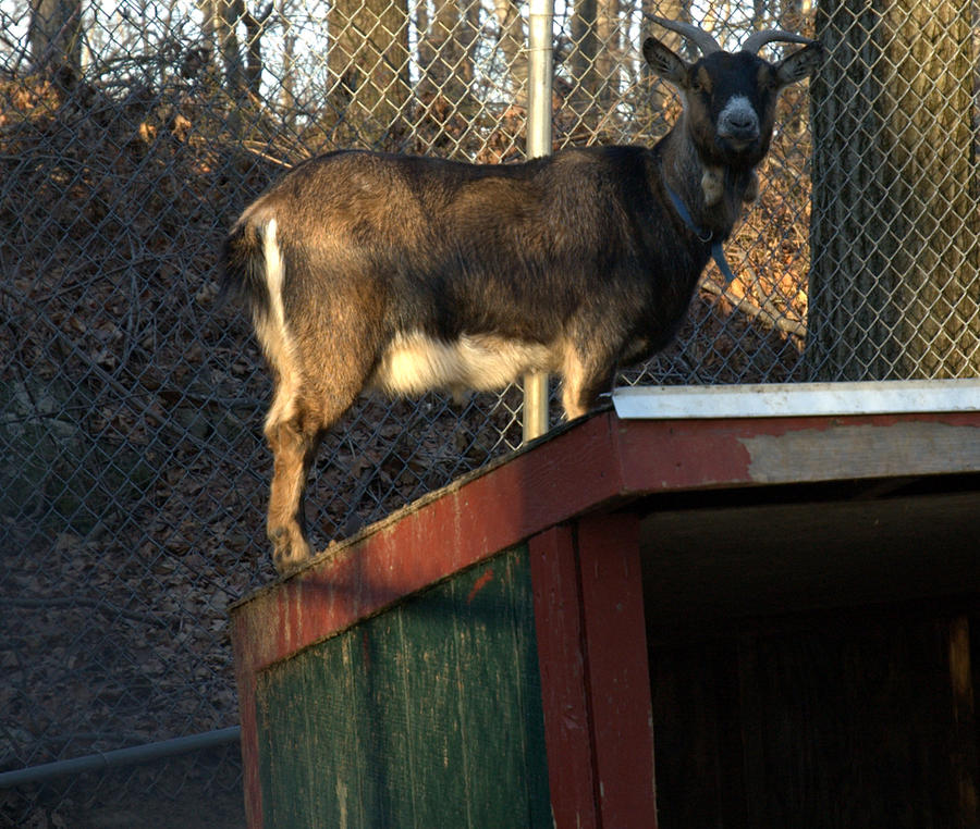 Goat Photograph - Goat On A Hot Tin Roof by Bruce Carpenter
