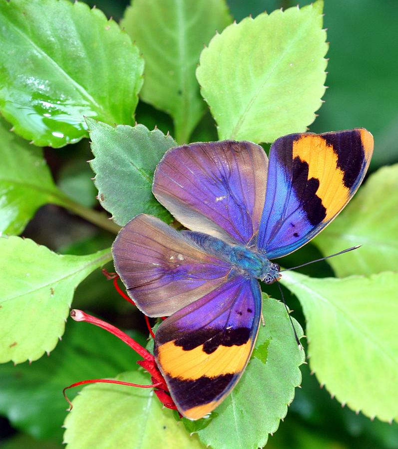 Butterfly Photograph - Gold Banded Forester by April Wietrecki Green
