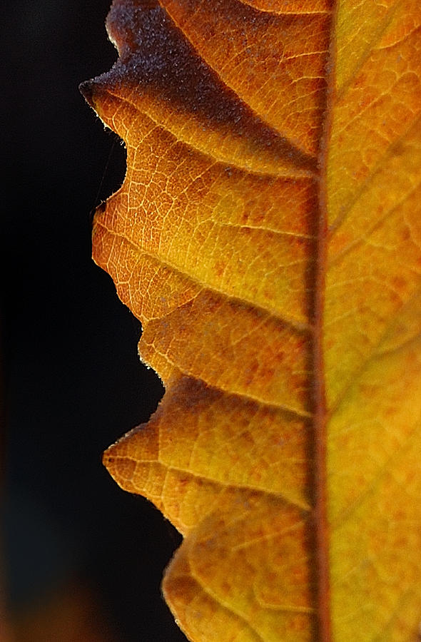 Autumn Photograph - Gold Leaf - The Color Of Autumn by Steven Milner