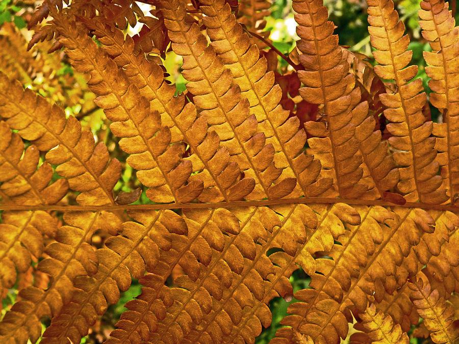 Fern Photograph - Gold Leaf by William Fields