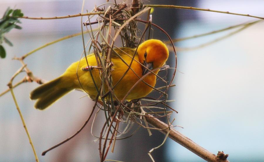 Bird Photograph - Gold Weaver by Paulette Thomas