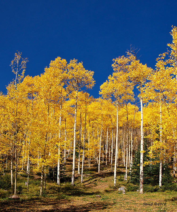 Aspen Photograph - Golden Aspen Stands by Stephen  Johnson