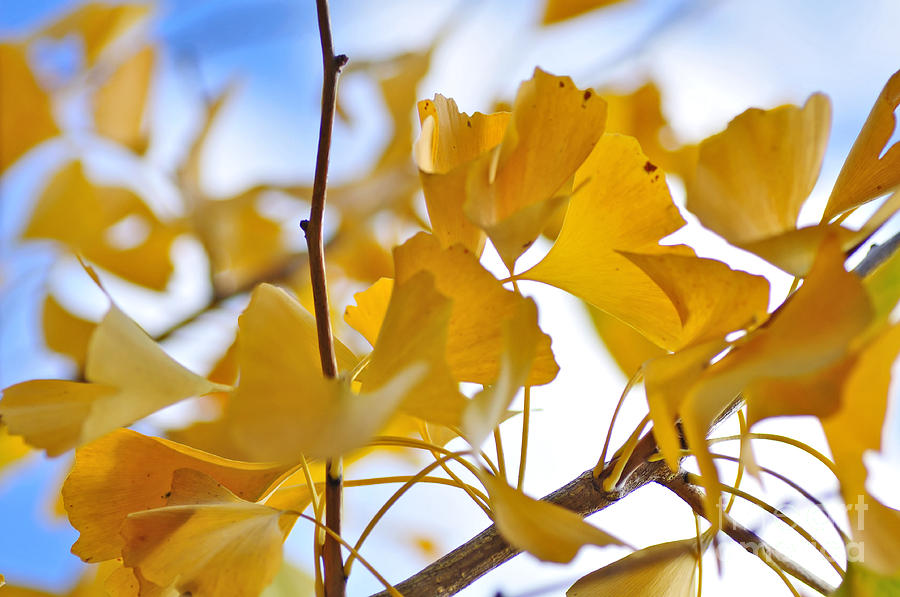Shades Of Gold Photograph - Golden Autumn by Kaye Menner