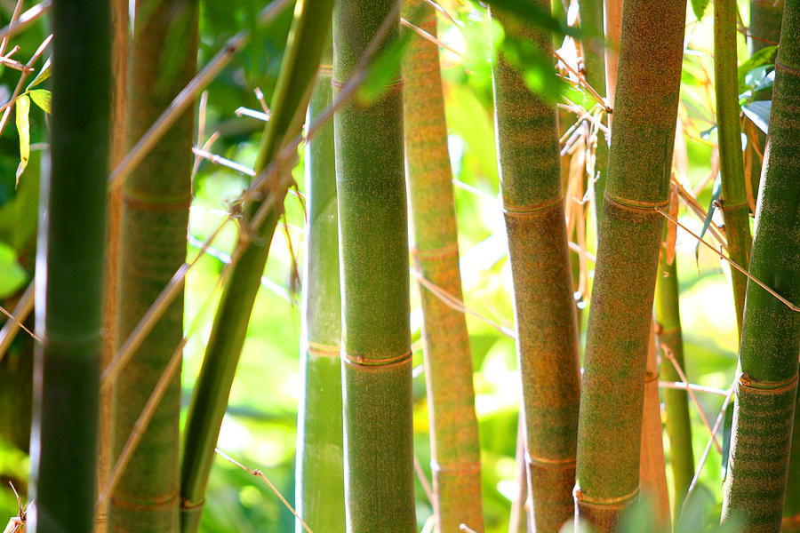 Bamboo Photograph - Golden Bamboo by Jose Rodriguez