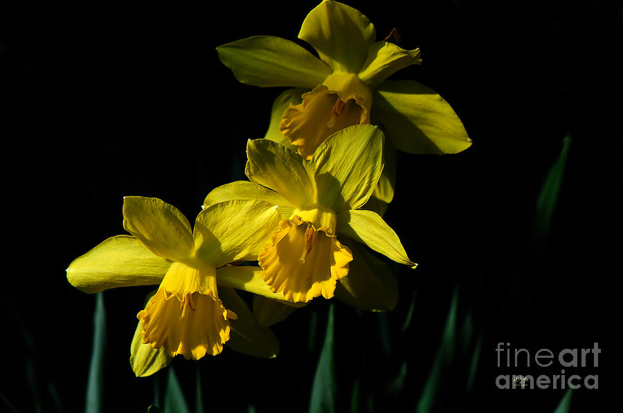 Daffodil Photograph - Golden Bells by Lois Bryan