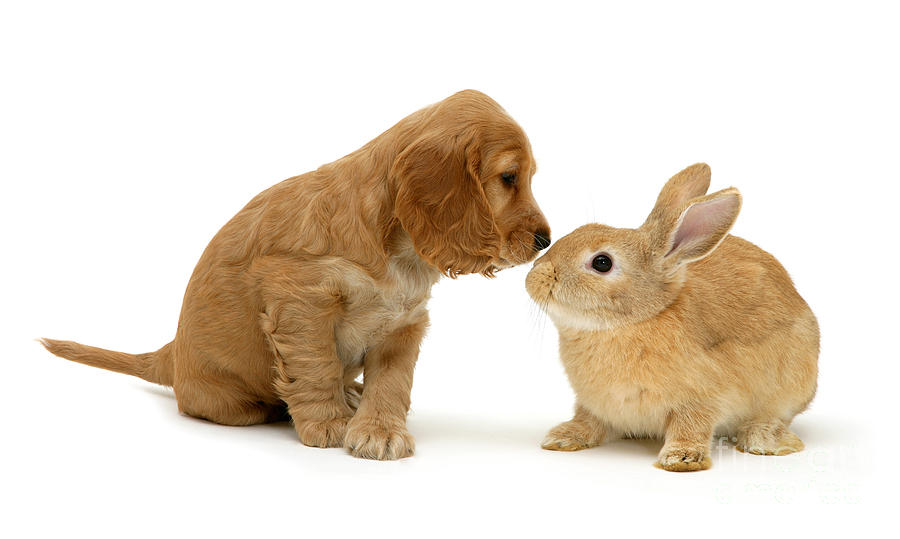 Animal Photograph - Golden Cocker Spaniel And Rabbit by Jane Burton