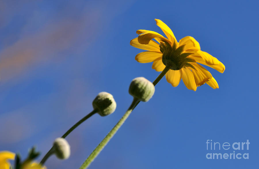 Golden Daisy On Blue Photograph - Golden Daisy On Blue by Kaye Menner