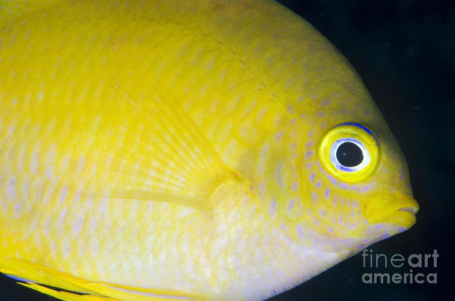 Fish Photograph - Golden Damsel Close-up, Papua New by Steve Jones