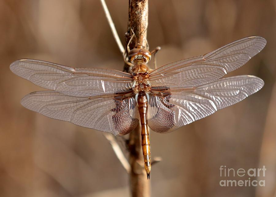 Dragonfly Photograph - Golden Dragonfly Wings by Carol Groenen