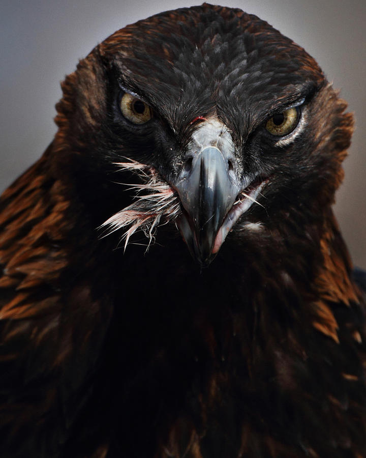 Vertical Photograph - Golden Eagle Feeding by Pat Gaines
