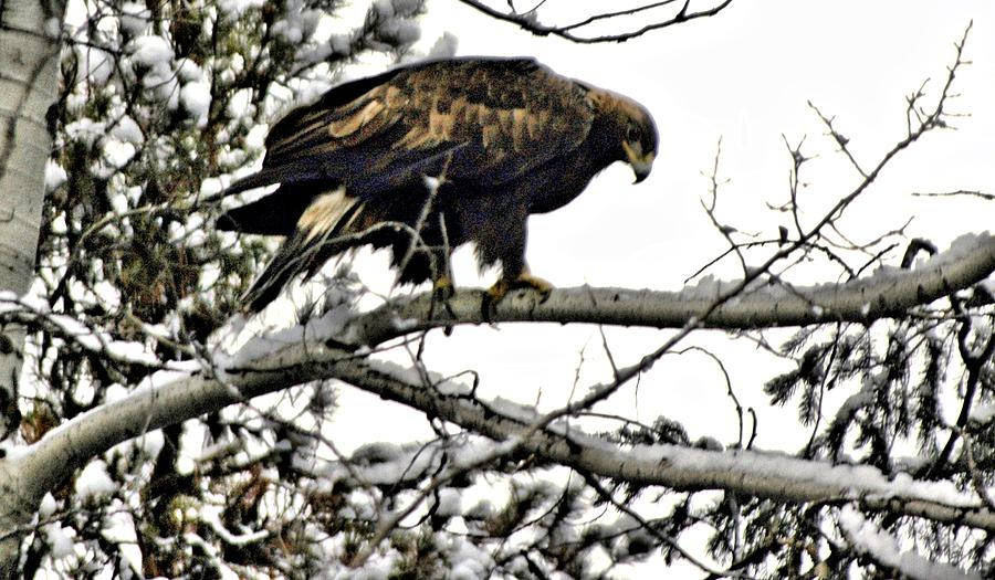 Eagles Photograph - Golden Eagle Watches by Don Mann