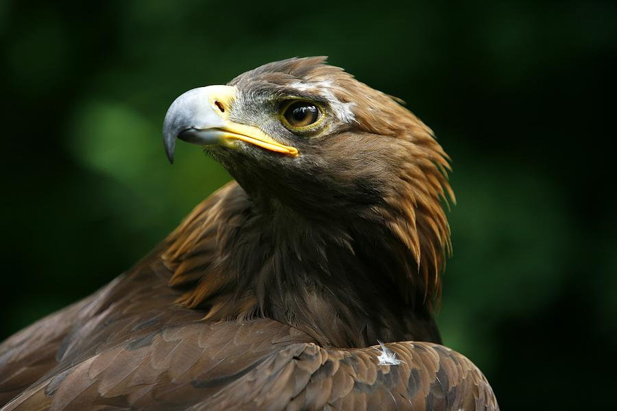 Golden Eagles Face Aquila Chrysaetos Photograph By Deddeda