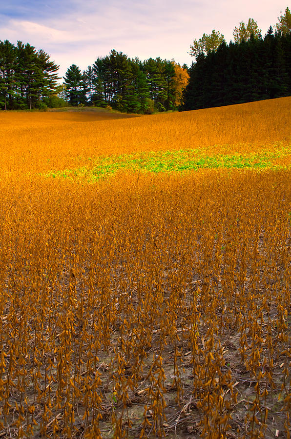 Landscape Photograph - Golden Field by Luba Citrin