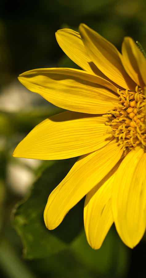 Golden Photograph - Golden Flower 1 by Douglas Barnett