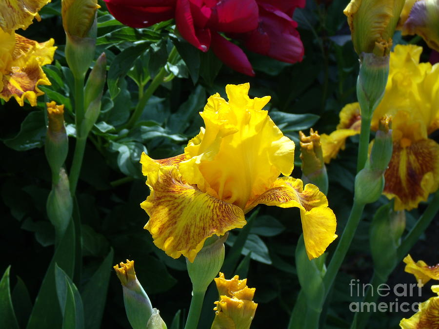 Yellow Iris Photograph - Golden Glory by Donna Parlow