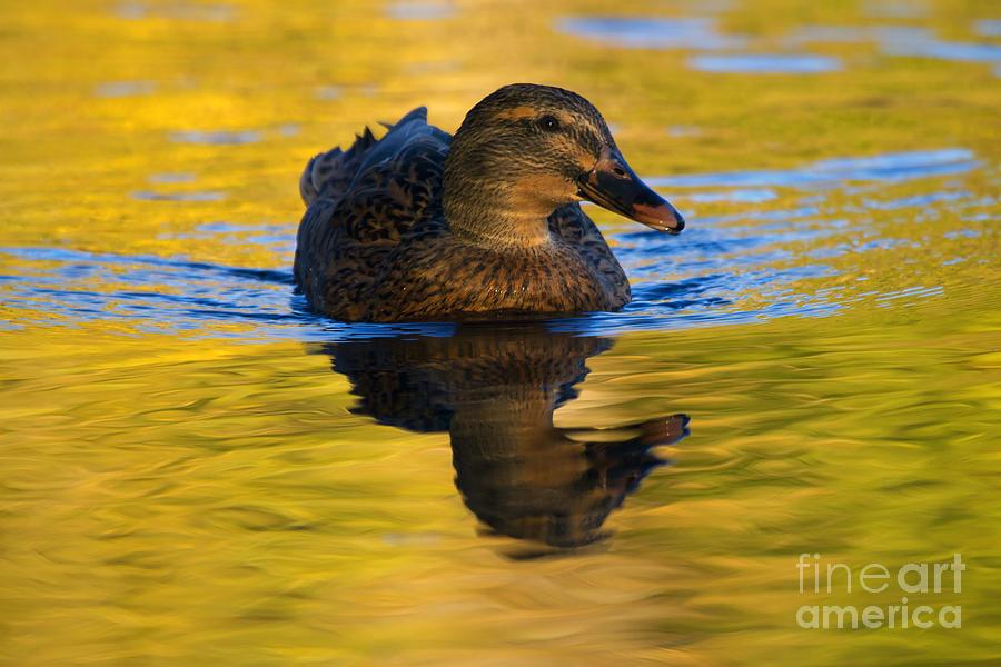 Mallard Photograph - Golden Hen by Mike  Dawson