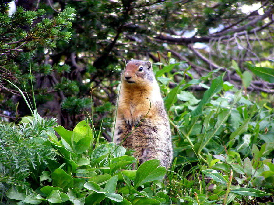 Wildlife Photograph - Golden Mantled Ground Squirrel  - Standing by Mark Caldwell